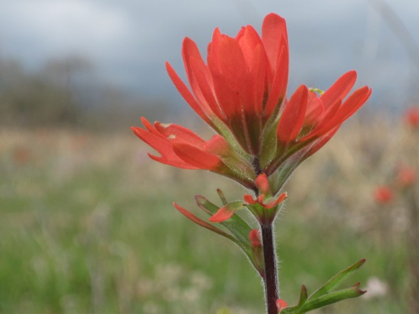 Indian paintbrush at Baker Prairie, Harrison, Arkansas
